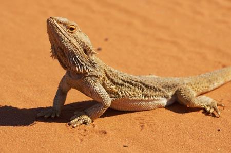 Bearded Dragons 4 u